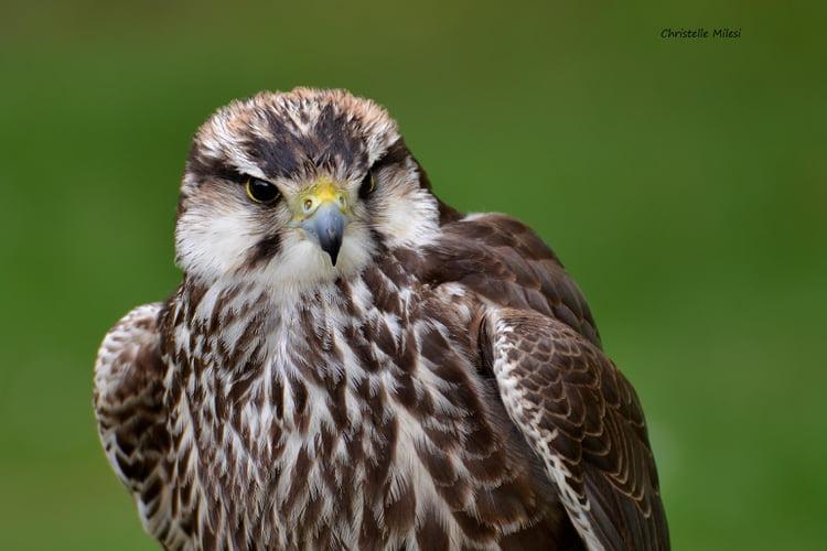 oiseau de ptit loulou le 14décembre trouvé par Martine  Rapace-1194685267-1621813