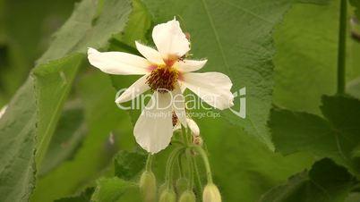 la fleur de Martin du 11 janvier trouvée par Jovany - Page 2 1--59275-African%20Hemp.%20(Sparrmannia%20africana)