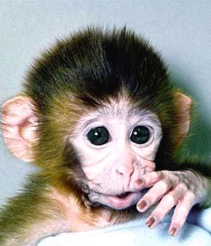 Majmuni Monkey300