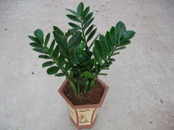 choix d'une plante d'ombre Zamioculcas-Zamiifolia
