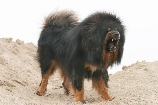La Bellezza degli Animali Mastino-tibetano