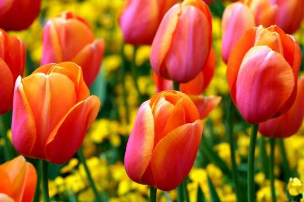 Zanimljivosti vezane za hranu  - Page 2 Tulipani-dai-colori-vivissimi