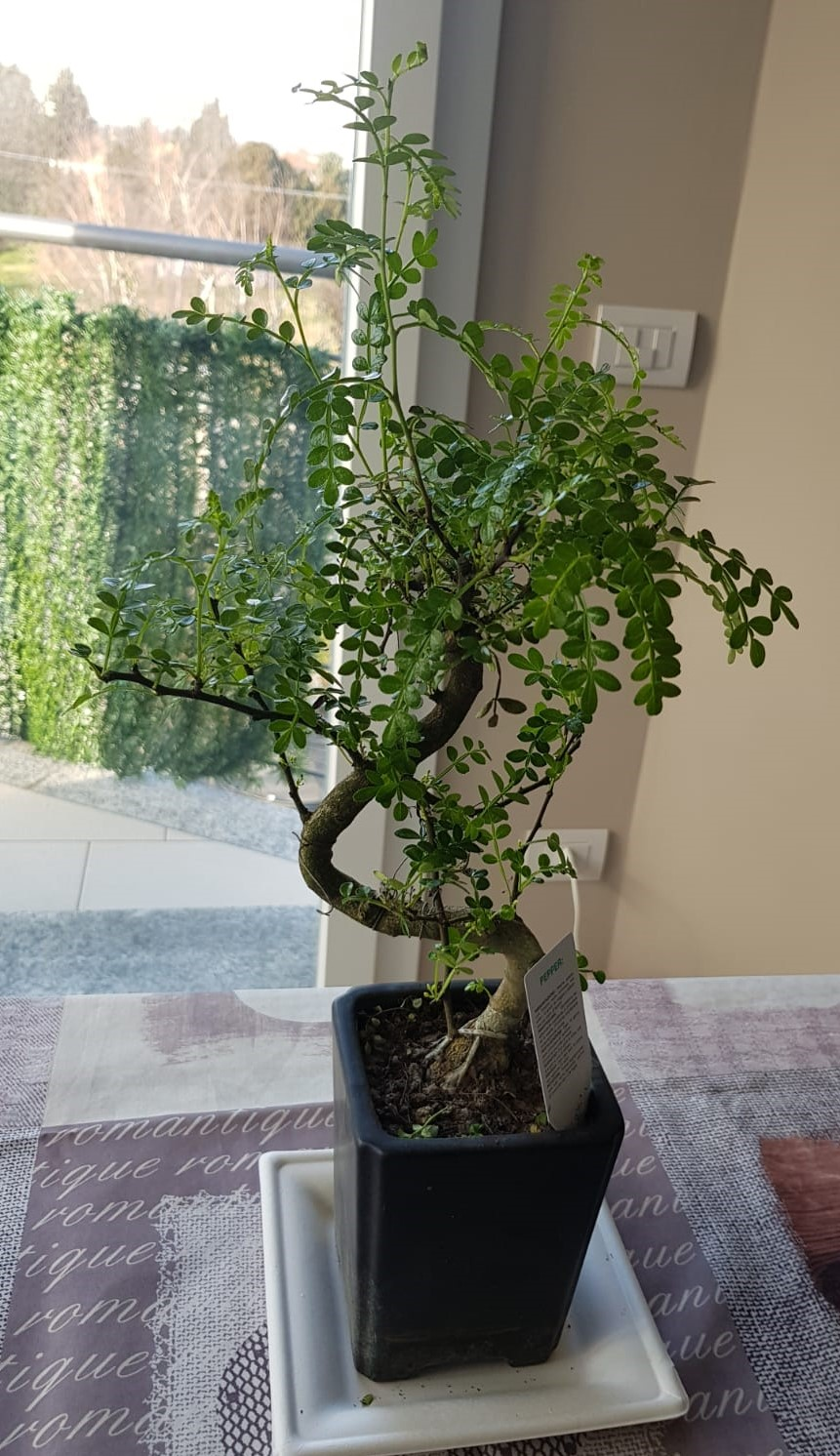 primo bonsai pepper tree: chiedo consigli IMG001