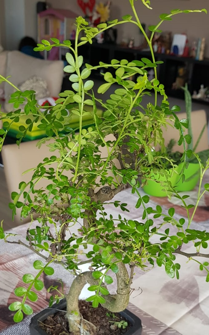 primo bonsai pepper tree: chiedo consigli IMG003