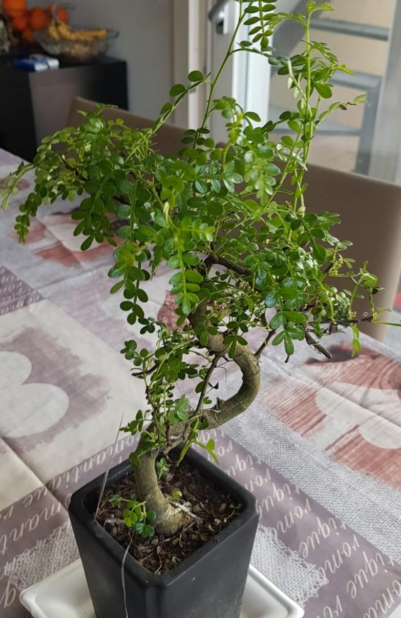 primo bonsai pepper tree: chiedo consigli IMG004