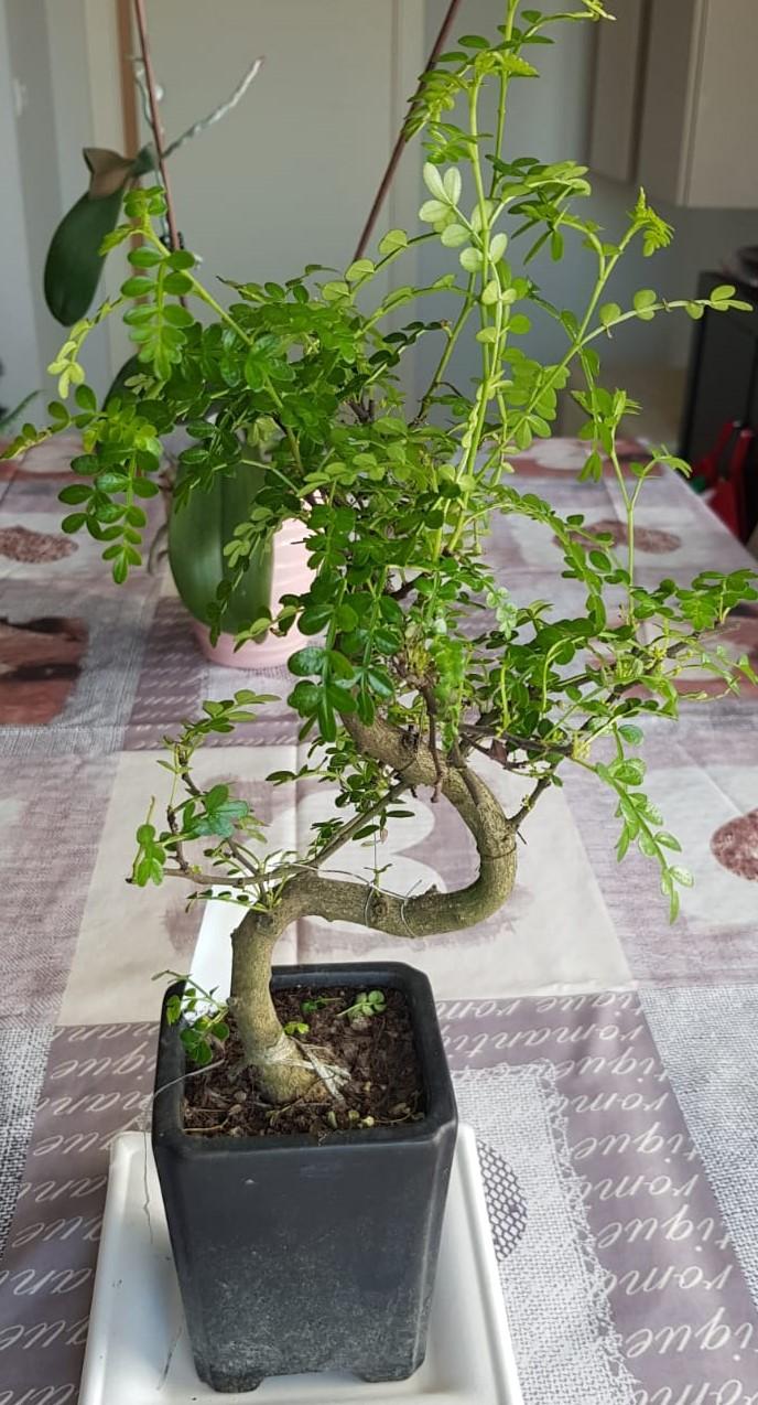 primo bonsai pepper tree: chiedo consigli IMG005