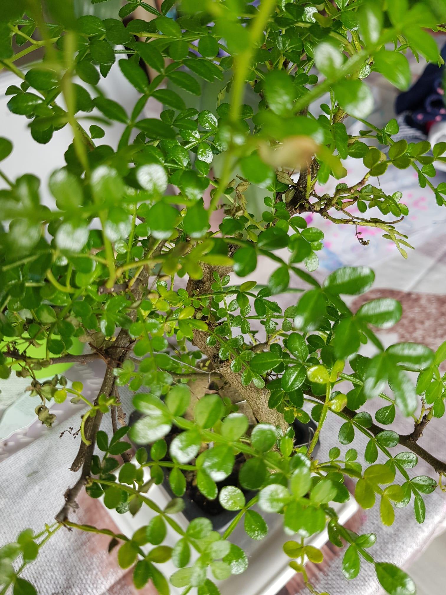 primo bonsai pepper tree: chiedo consigli WhatsApp-Image-2019-12-30-at-11.39.12