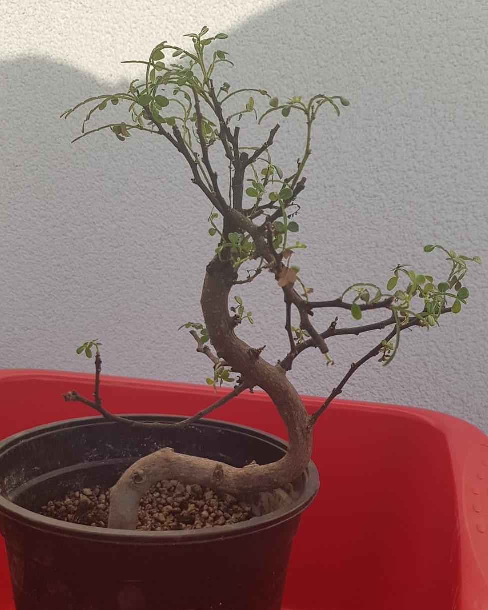 primo bonsai pepper tree: chiedo consigli - Pagina 2 PrimoRinvaso01