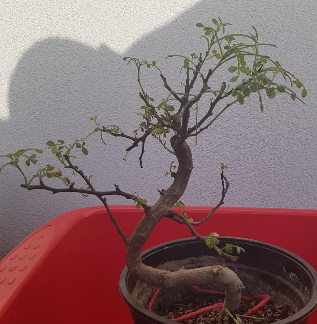 primo bonsai pepper tree: chiedo consigli - Pagina 2 PrimoRinvaso03