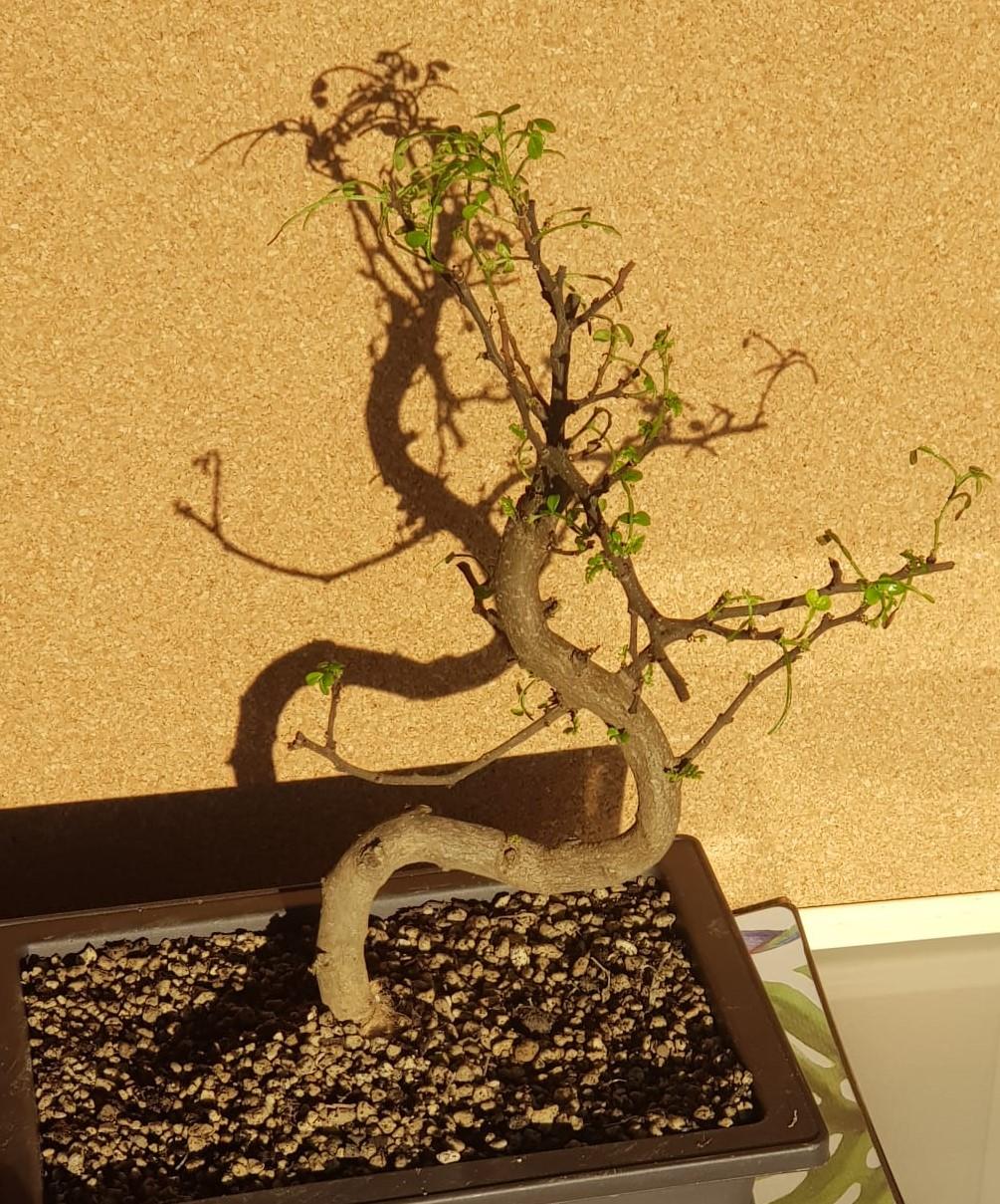 primo bonsai pepper tree: chiedo consigli - Pagina 2 SecondoRinvaso01