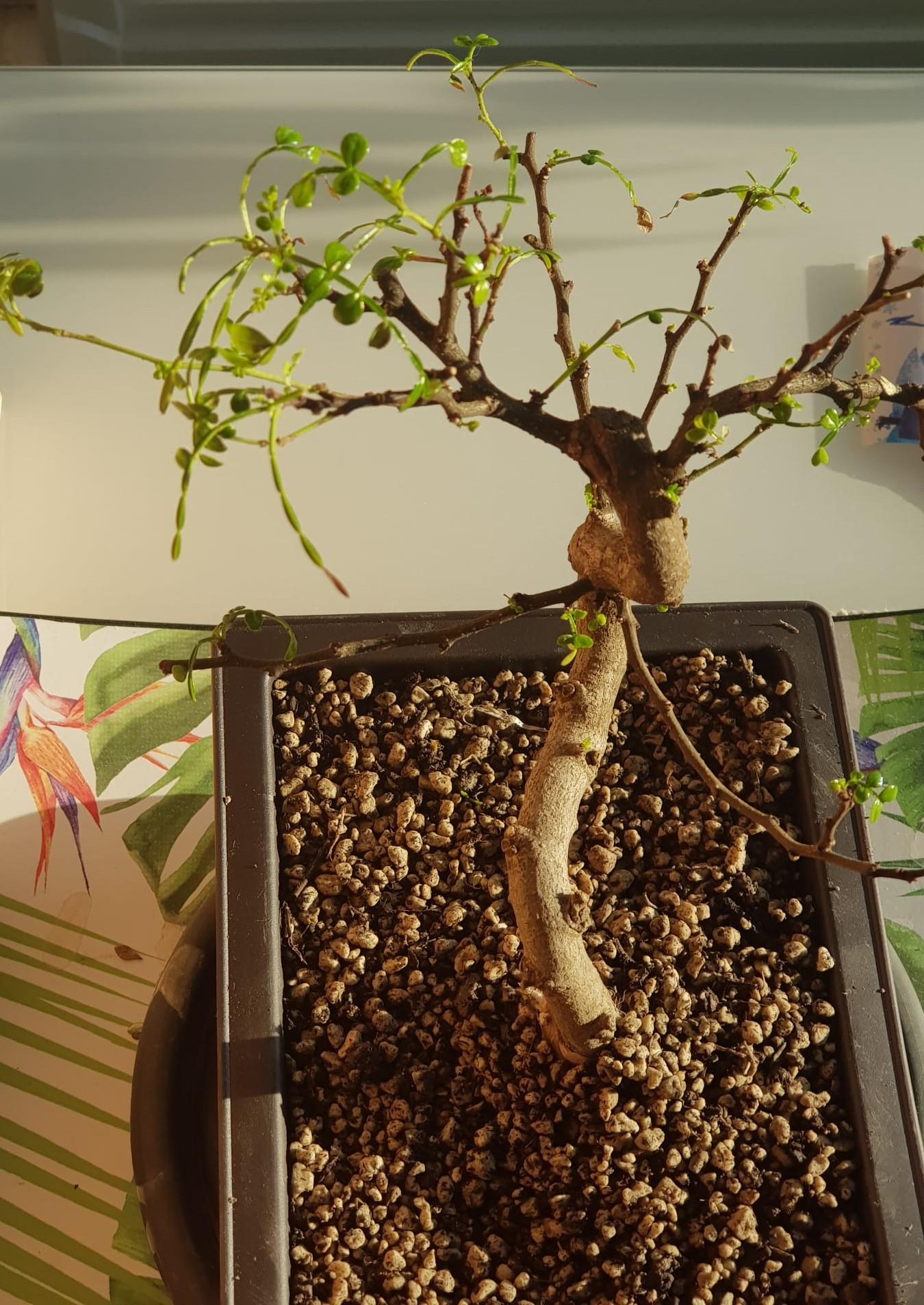 primo bonsai pepper tree: chiedo consigli - Pagina 2 SecondoRinvaso02