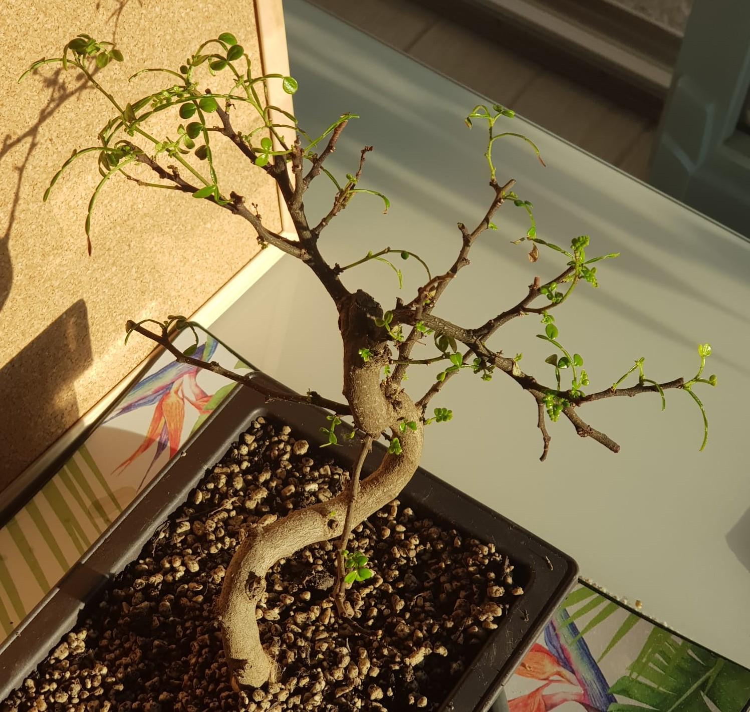 primo bonsai pepper tree: chiedo consigli - Pagina 2 SecondoRinvaso03