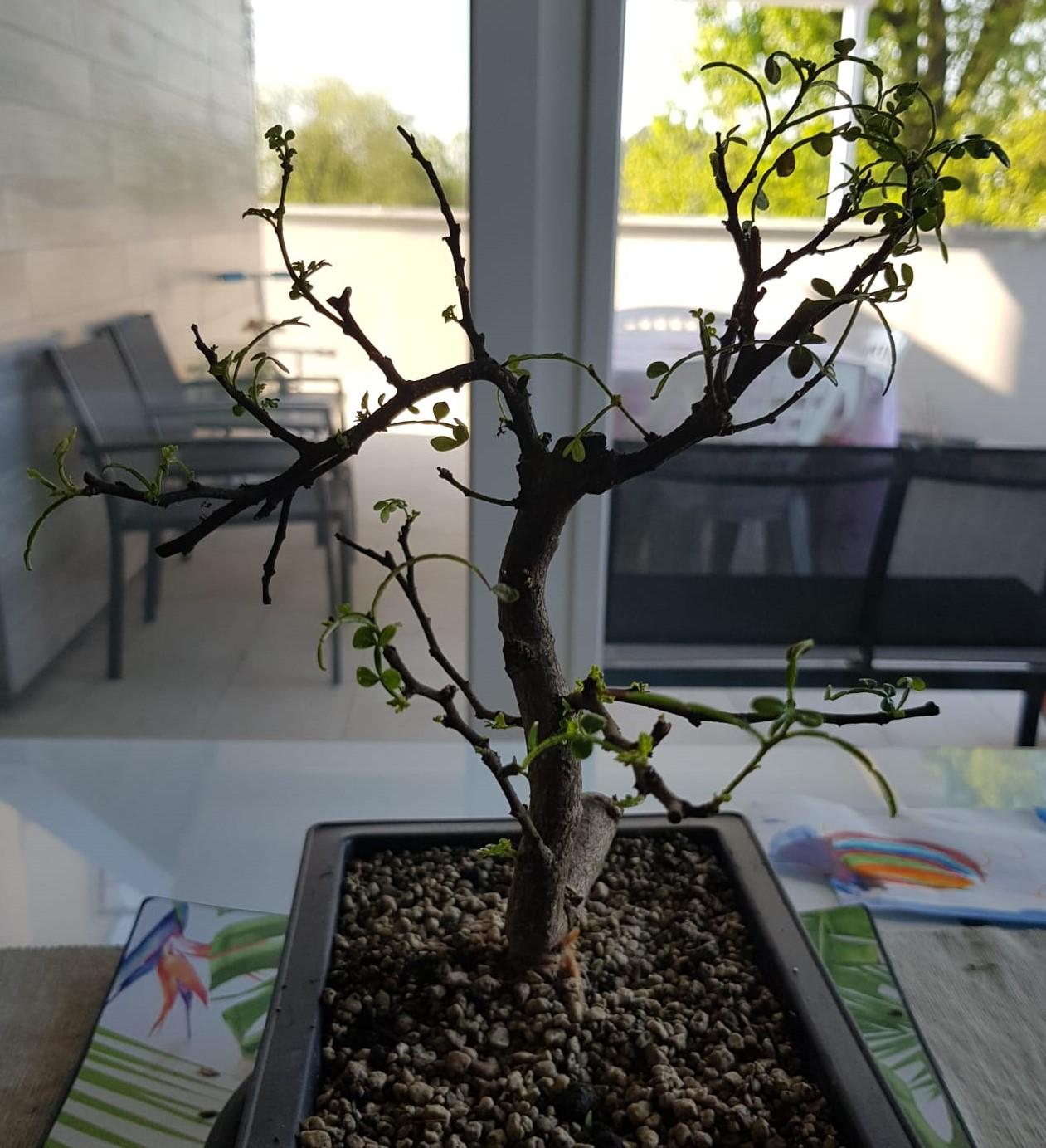 primo bonsai pepper tree: chiedo consigli - Pagina 2 SecondoRinvaso04