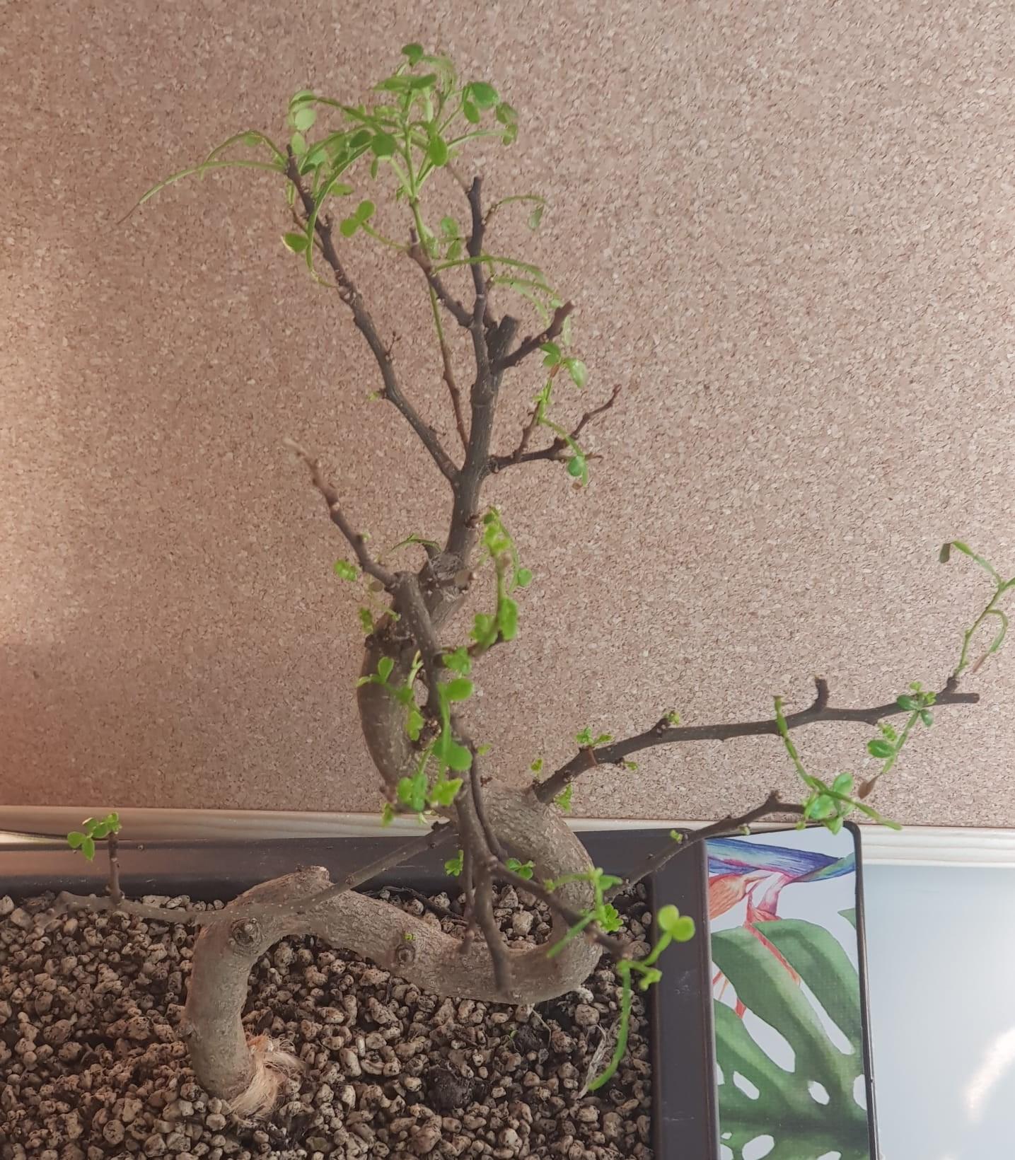 primo bonsai pepper tree: chiedo consigli - Pagina 2 SecondoRinvaso06