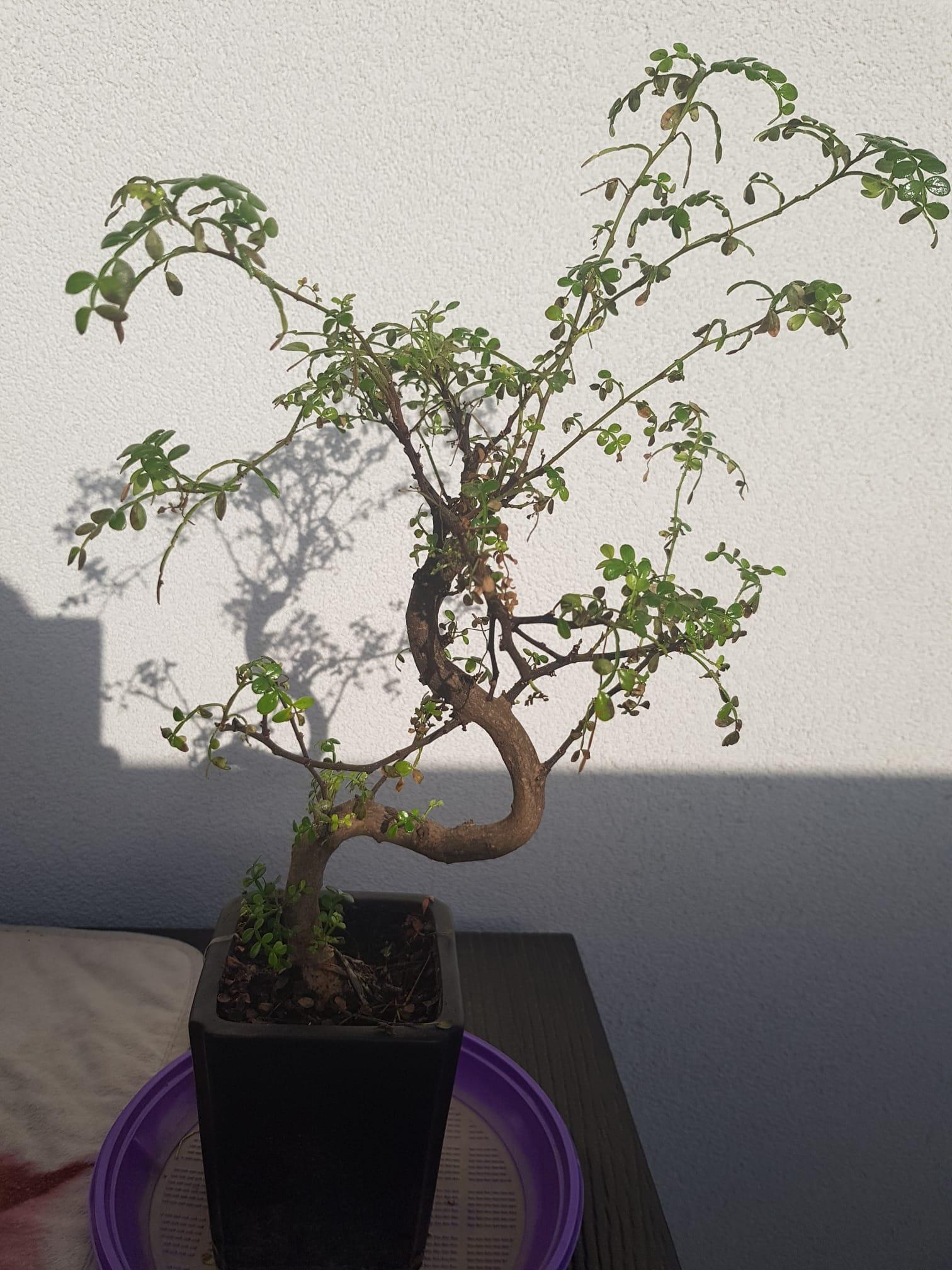 primo bonsai pepper tree: chiedo consigli - Pagina 2 Pre-potatura01