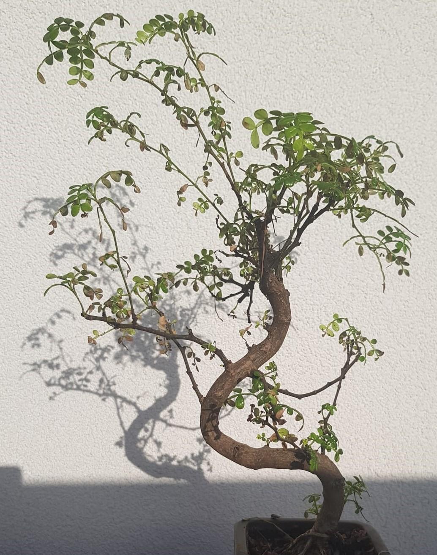primo bonsai pepper tree: chiedo consigli - Pagina 2 Pre-potatura02