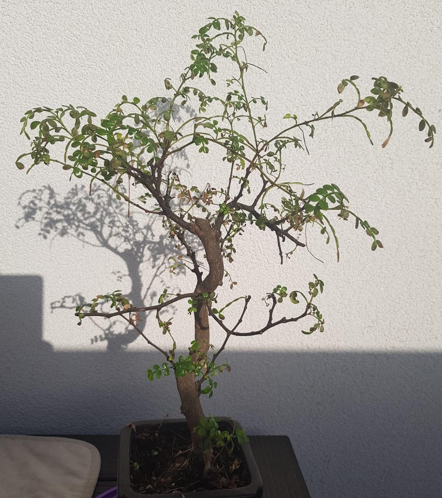 primo bonsai pepper tree: chiedo consigli - Pagina 2 Pre-potatura03