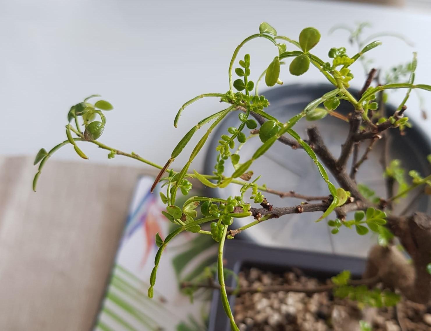 primo bonsai pepper tree: chiedo consigli - Pagina 2 Bonsai1