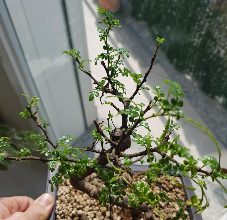 primo bonsai pepper tree: chiedo consigli - Pagina 2 WhatsApp-Image-2020-04-26-at-15.50.32-1