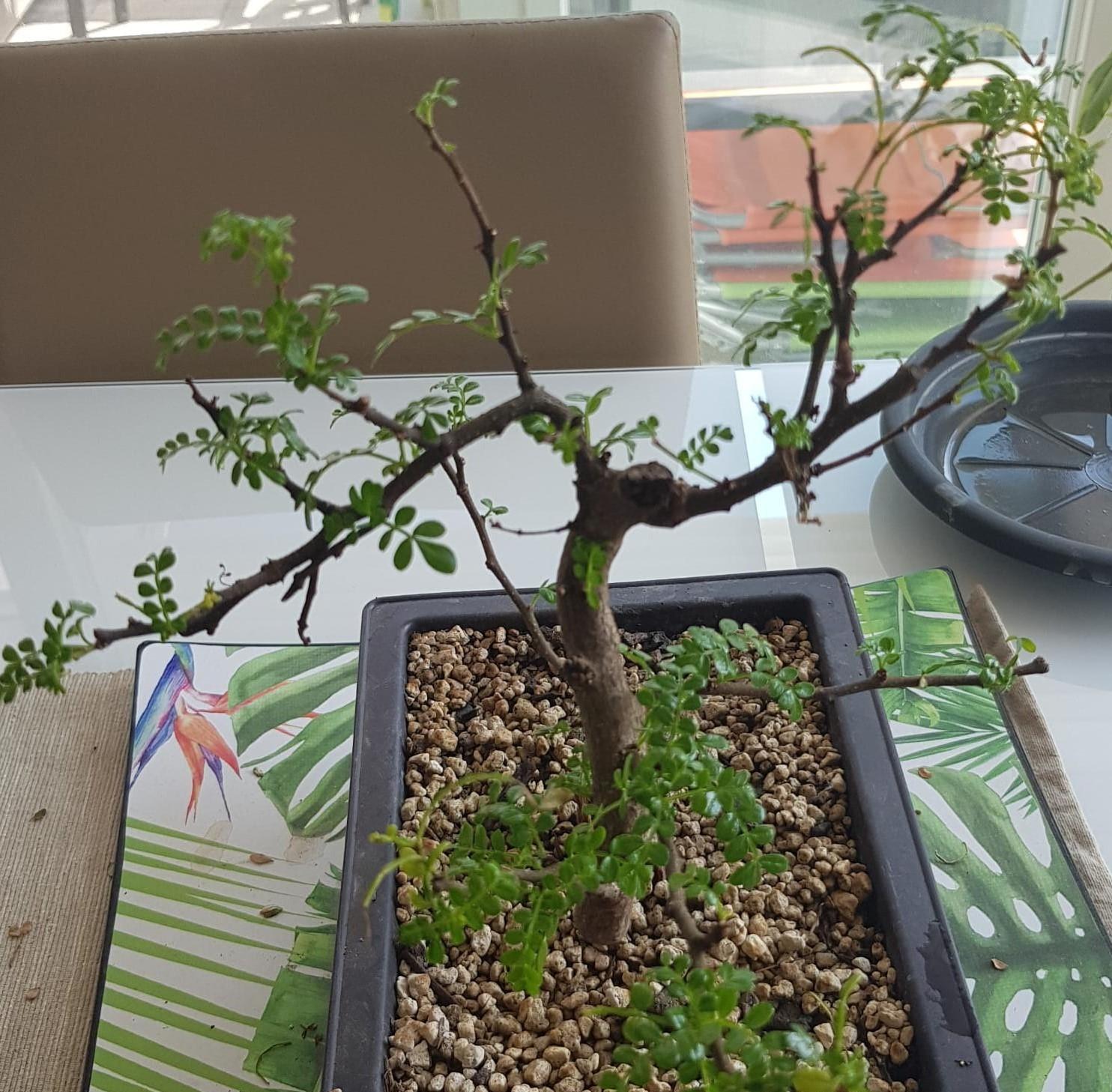 primo bonsai pepper tree: chiedo consigli - Pagina 2 WhatsApp-Image-2020-04-26-at-15.50.32