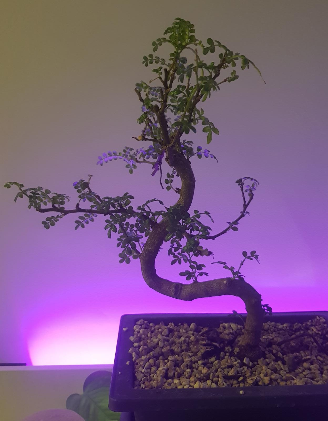 primo bonsai pepper tree: chiedo consigli - Pagina 3 Bonsai01