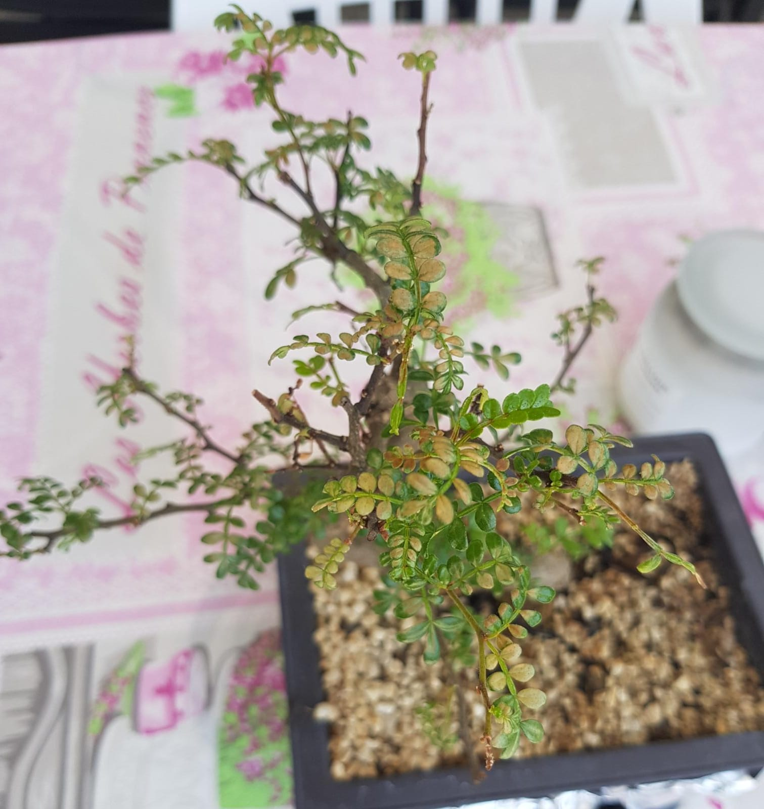 primo bonsai pepper tree: chiedo consigli - Pagina 3 WhatsApp-Image-2020-05-27-at-14.26.13-4