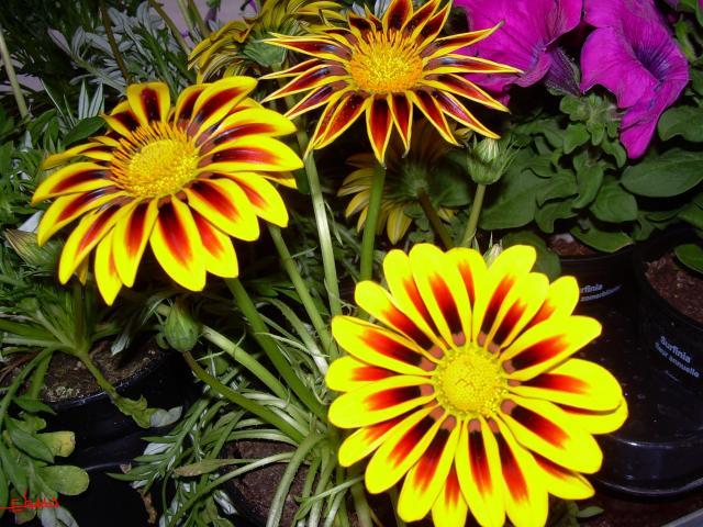 BUSQUEMOS HERMOSAS FLORES - Página 4 87226-a-rua-de-valdeorras-flores-hermosas-en-a-rua