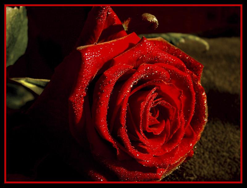 DICHOS POPULARES - Página 2 Bonitas-las-rosas-rojas