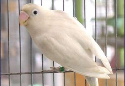 مجموعة من الصور لطيور الحب 3909760496