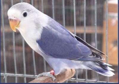 مجموعة من الصور لطيور الحب 3909760497