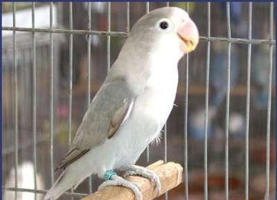 مجموعة من الصور لطيور الحب 3909760498