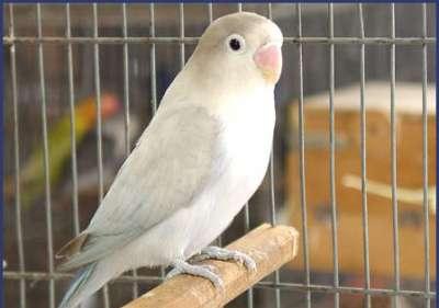 مجموعة من الصور لطيور الحب 3909760499