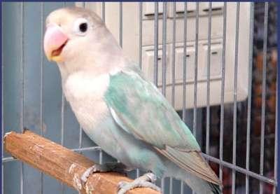 مجموعة من الصور لطيور الحب 3909760505