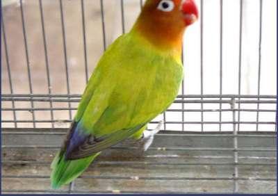 مجموعة من الصور لطيور الحب 3909760508