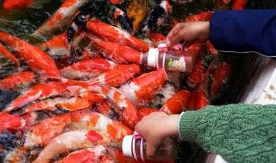 أسماك ترضع من رضاعات الاطفال ..صور و فيديو 3909781872