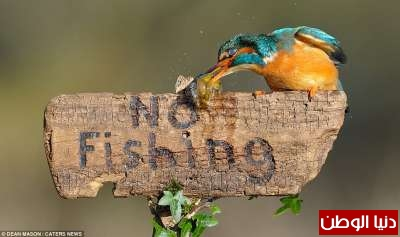طائر يصطاد سمكة ويقف متحدياً فوق لافتة ممنوع الصيد... صور 3909795147