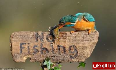 طائر يصطاد سمكة ويقف متحدياً فوق لافتة ممنوع الصيد... صور 3909795148