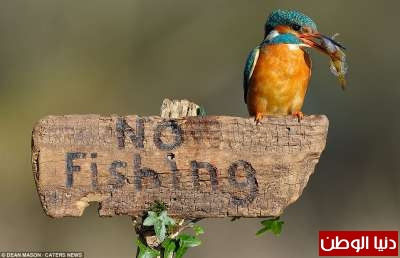 طائر يصطاد سمكة ويقف متحدياً فوق لافتة ممنوع الصيد... صور 3909795149
