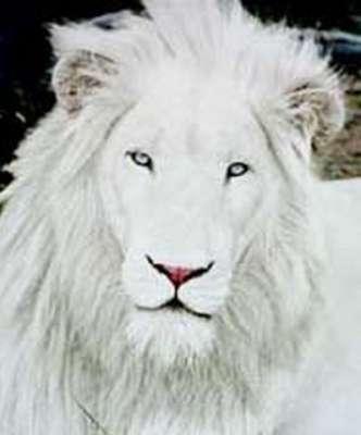 الأسد الأبيض.. بالصور 3909808624