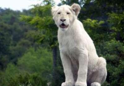 الأسد الأبيض.. بالصور 3909808630