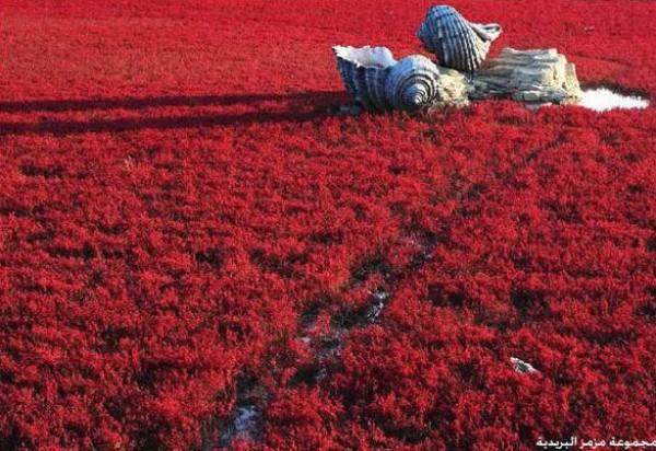 شاطىء الأحمر فى الصين  3909979999