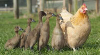 """الدجاجة """"هيلدا"""" صدمت بعدما وجدت أولادها بطاً 9998323010"""