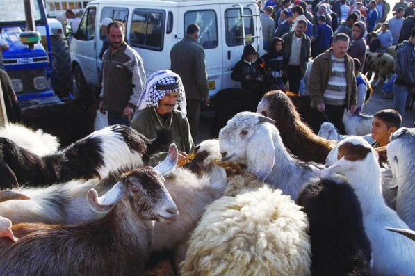 الضفة : تكلفة اضاحي العيد وصلت لـ 232 مليون شيكل 0EID-SHEEP12