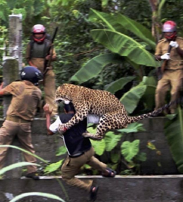 بالصور و الفيديو… فهد يهاجم ستة فلاحين في الهند 135