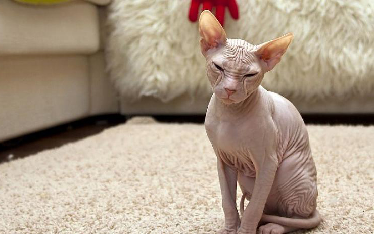 هل شاهدت القطط الصلعاء 3