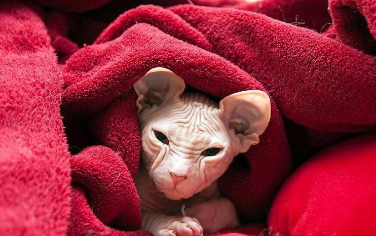 هل شاهدت القطط الصلعاء 5445
