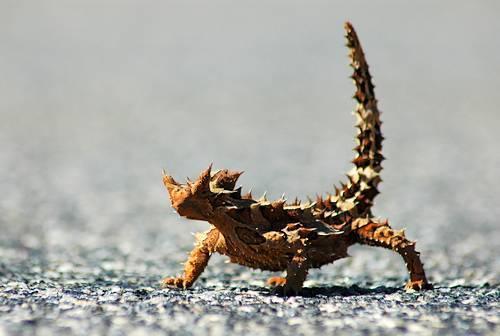 معلومات عن الزواحف والحشرات Austrailian-desert-lizard-unusual-animals-583937_500_336