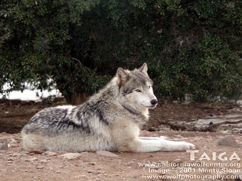 Vukovi - Page 2 Taiga-wolves-175870_800_600