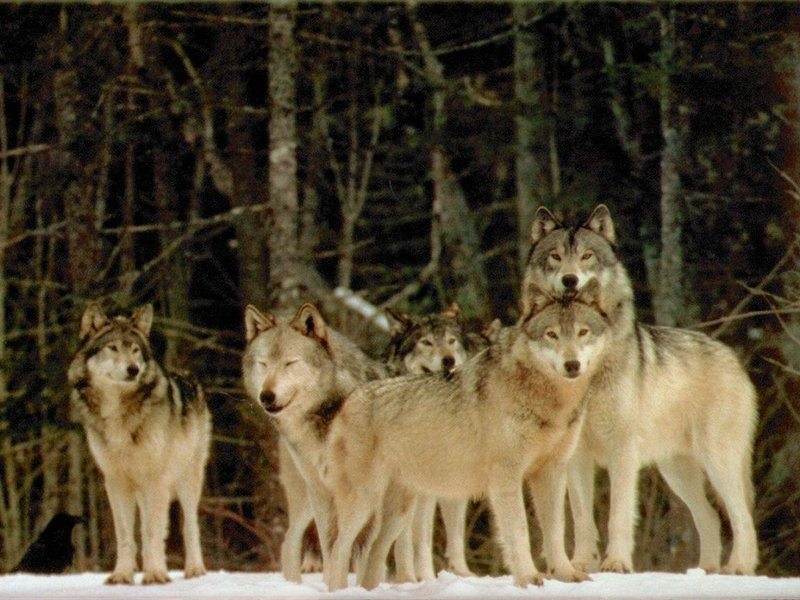 Vukovi - Page 2 WOLVES-wolves-592575_800_600