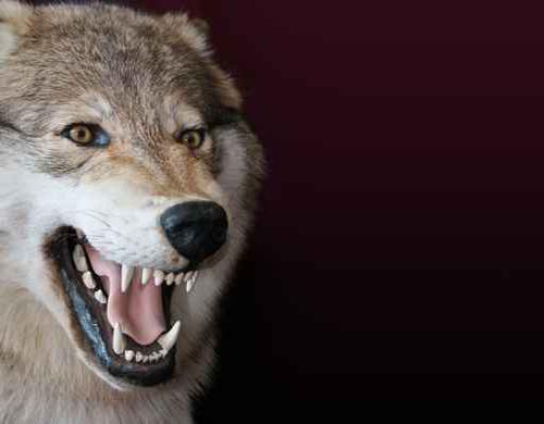 دئب..افعى..نخلة..وردة...قمة و روعة التشبيه  Wolf